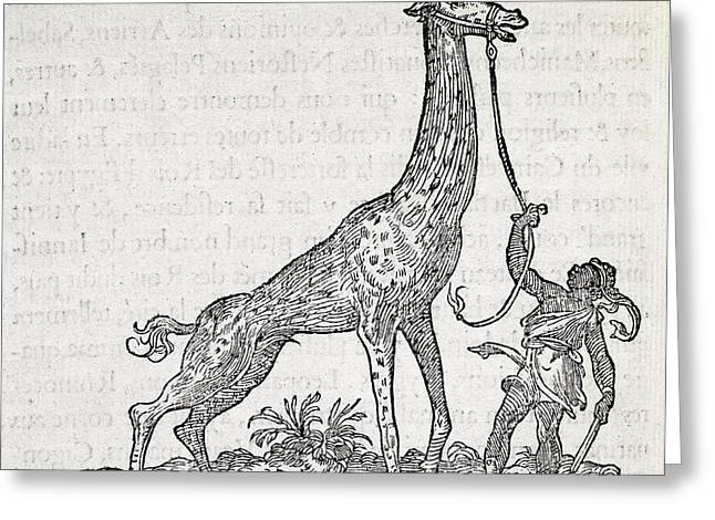 1500s Greeting Cards - Giraffe, 16th Century Artwork Greeting Card by Middle Temple Library