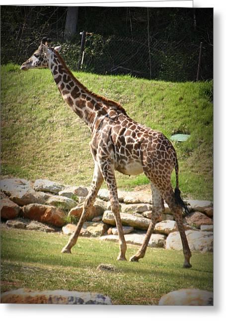 Greenville Zoo Greeting Cards - Giraffe  Greeting Card by Kelly Hazel