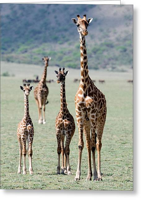 Female Animal Greeting Cards - Giraffes Giraffa Camelopardalis Greeting Card by Panoramic Images