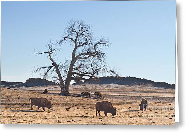 Wildlife Art Acrylic Prints Greeting Cards - Give Me A Home Where The Buffalo Roam Greeting Card by James BO  Insogna