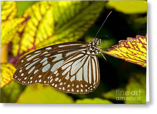 Glassy Blue Tiger Butterfly Greeting Card by Millard H. Sharp