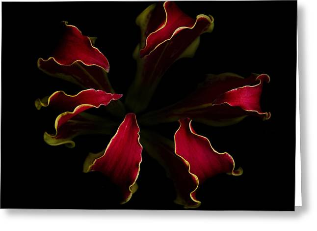 Isolated Against Black Background Greeting Cards - Glory Lily Greeting Card by Oscar Gutierrez