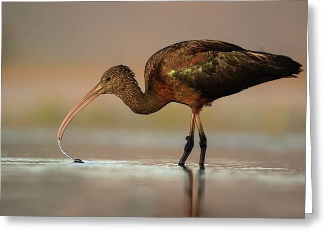 Glossy Ibis Feeding On Freshwater Snails Greeting Card by Tony Camacho