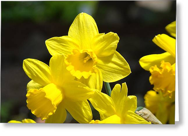 Art Heals Greeting Cards - Glowing Yellow Daffodil Flowers art prints Spring Greeting Card by Baslee Troutman