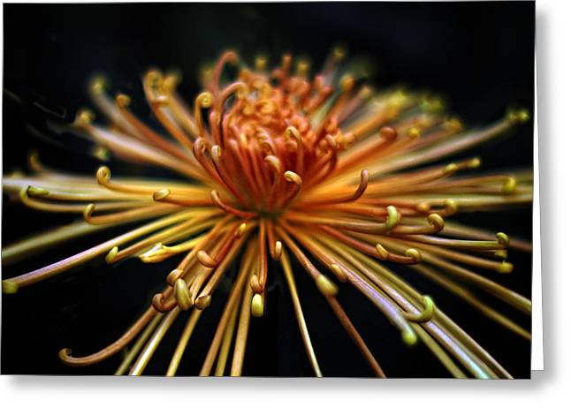 Spider Flower Greeting Cards - Golden Chrysanthemum Greeting Card by Jessica Jenney