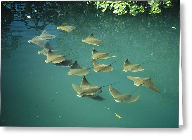 Cow Images Photographs Greeting Cards - Golden Cownose Rays Schooling Galapagos Greeting Card by Tui De Roy