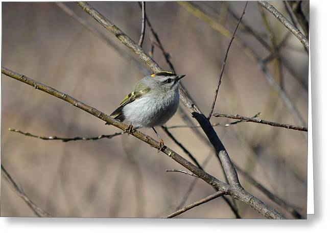 Maine Spring Greeting Cards - Golden-crowned Kinglet Greeting Card by James Petersen