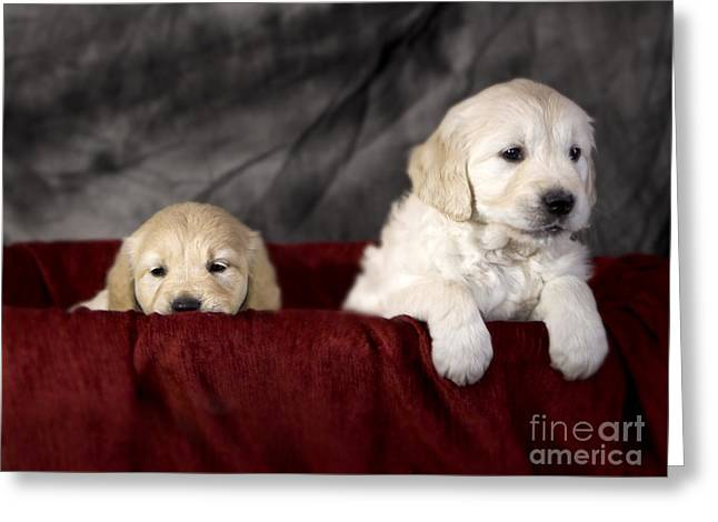 Golden Retriever Puppies Greeting Card by Angel  Tarantella