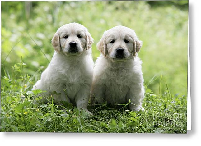 Puppy Sitting Greeting Cards - Golden Retriever Puppies Greeting Card by John Daniels