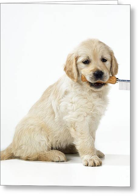 Sit-ins Greeting Cards - Golden Retriever Puppy Greeting Card by John Daniels