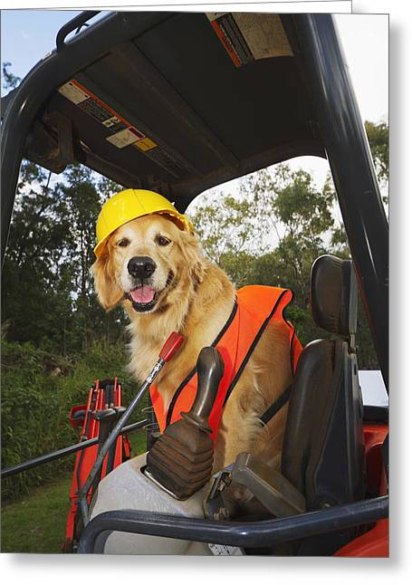 North American Bobcats Greeting Cards - Golden Retriever Supervising Greeting Card by Ron Dahlquist