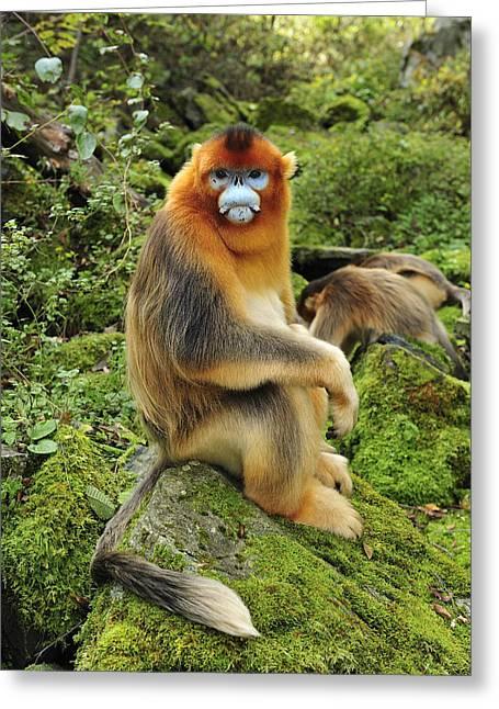 Thomas Marent Greeting Cards - Golden Snub-nosed Monkey Male China Greeting Card by Thomas Marent