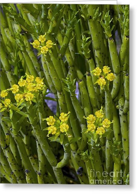 Spurge Greeting Cards - Golden Spurge Euphorbia Mauritanicia Greeting Card by Bob Gibbons