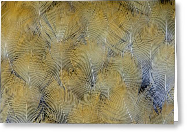Golden Tones Of Varied Thrush Feathers Greeting Card by Darrell Gulin