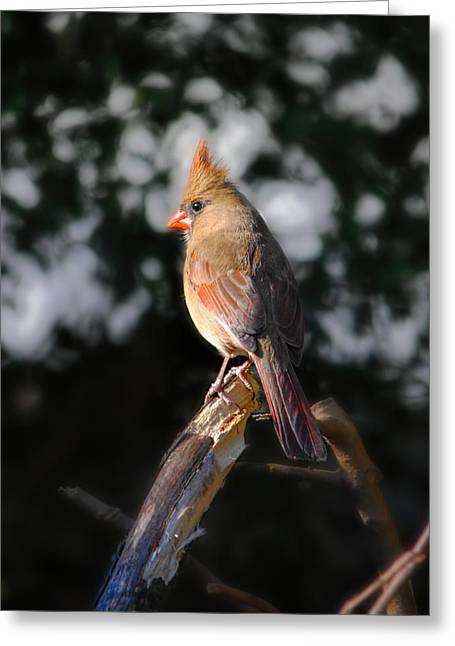 Red Bird In Snow Greeting Cards - Good Morning Sunshine Greeting Card by Jai Johnson