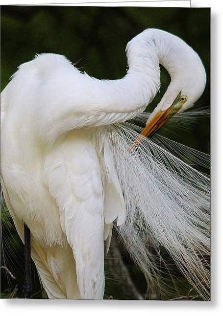 Paulette Thomas Greeting Cards - Gorgeous Great White Egret Greeting Card by Paulette Thomas