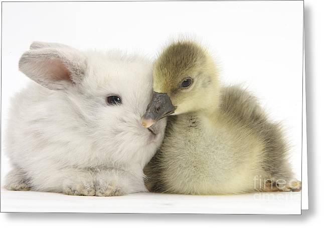 House Pet Greeting Cards - Gosling And Baby Bunny Greeting Card by Mark Taylor
