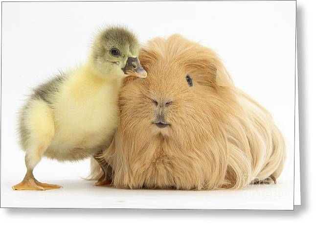 House Pet Greeting Cards - Gosling And Guinea Pig Greeting Card by Mark Taylor