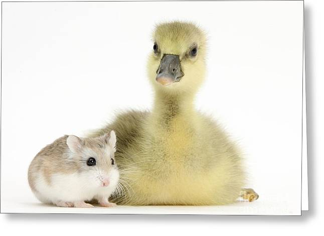 House Pet Greeting Cards - Gosling With Roborovski Hamster Greeting Card by Mark Taylor