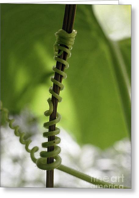 Attachment Greeting Cards - Gourd Tendril Cucurbita Sp Greeting Card by Vaughan Fleming