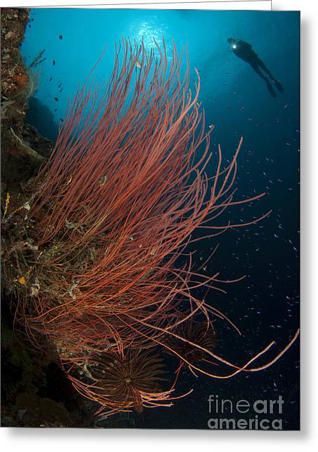 Gorontalo Greeting Cards - Grand Sea Whip With Diver Greeting Card by Steve Jones
