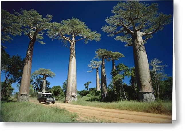 Baobab Greeting Cards - Grandidiers Baobab Trees Madagascar Greeting Card by Konrad Wothe