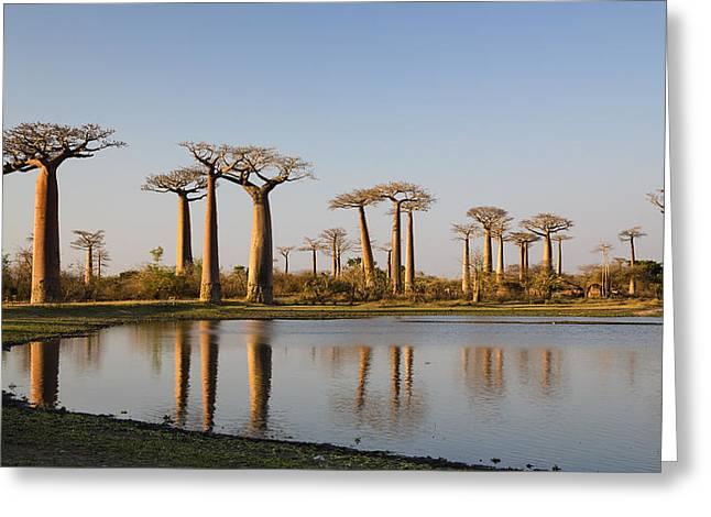 Baobab Greeting Cards - Grandidiers Baobabs Madagascar Greeting Card by Konrad Wothe