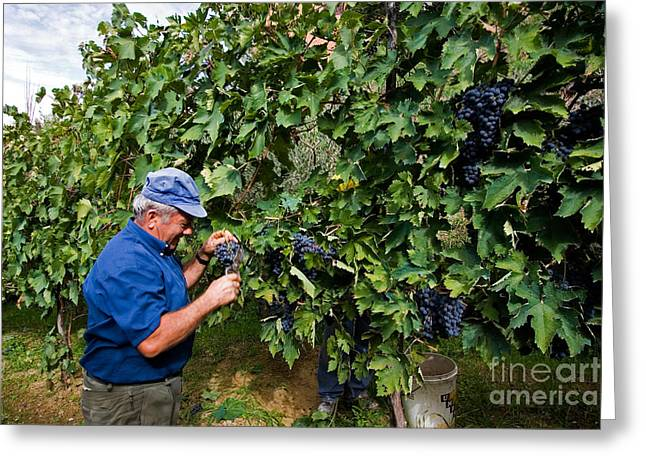 Grape Harvest, Italy Greeting Card by Tim Holt