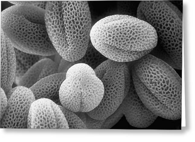 Sem Greeting Cards - Grass Pollen Sem X38,000 Greeting Card by David M. Phillips