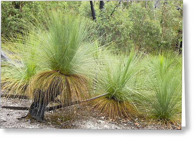 Bushfire Greeting Cards - Grass trees (Xanthorrhoea) after fire Greeting Card by Science Photo Library