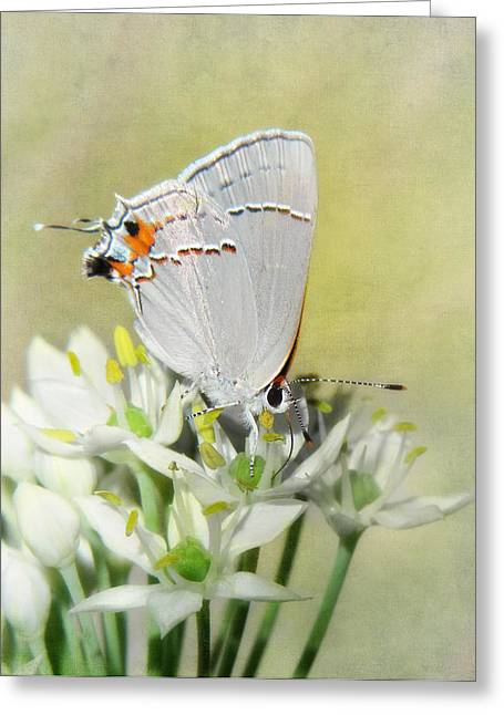 Blooms Butterflies Greeting Cards - Gray Hairstreak Butterfly III Greeting Card by David and Carol Kelly