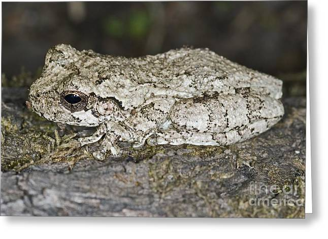 Treefrog Greeting Cards - Gray Treefrog Greeting Card by Clay Coleman