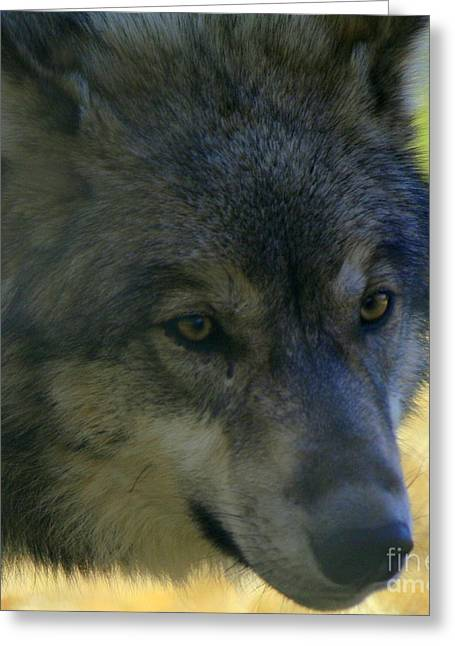 Neal Eslinger Greeting Cards - Gray Wolf Greeting Card by Neal  Eslinger