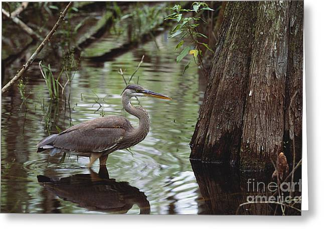 Trees Reflecting In Water Greeting Cards - Great Blue Heron Greeting Card by Art Wolfe