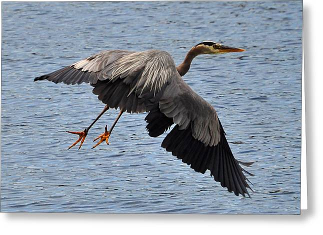 Great Blue Heron Framed Print Greeting Cards - Great Blue Heron Greeting Card by Bryan Hanson