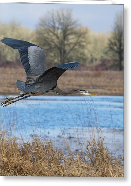 Wildlife Refuge. Greeting Cards - Great Blue Heron in Flight Greeting Card by Angie Vogel