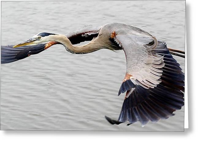 Great Blue Heron In Flight Greeting Card by Paulette Thomas