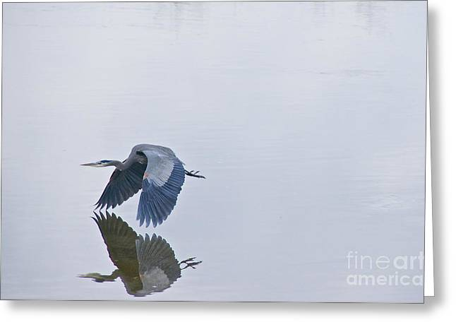 Tidal Photographs Greeting Cards - Great Blue Heron in Flight Greeting Card by Sean Griffin