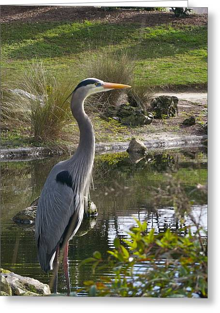 Great Blue Heron Greeting Card by Jim Hubbard
