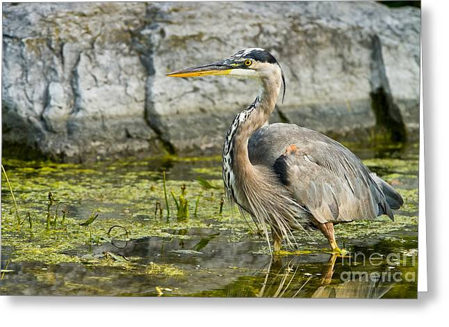 Bird Pictures Greeting Cards - Great Blue Heron Greeting Card by Michael Cummings