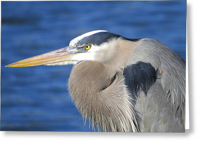 Wadingbird Greeting Cards - Great Blue Heron Profile Greeting Card by Phyllis Beiser