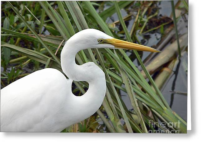 Great Egret Greeting Cards - Great Egret Close Up Greeting Card by Al Powell Photography USA