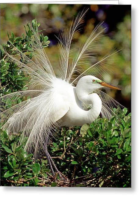 Great Egret Greeting Cards - Great Egret Courtship Display Greeting Card by Millard H Sharp