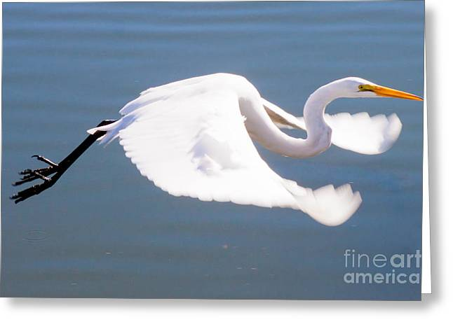 Great Egret In Flight Greeting Card by Thomas Marchessault