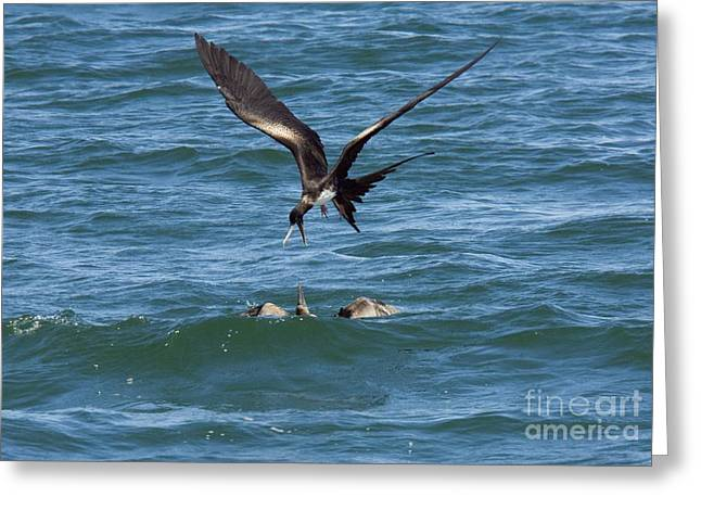Harassment Greeting Cards - Great Frigatebird And Blue-footed Booby Greeting Card by Bob Gibbons