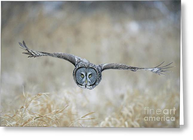 Flying Animal Greeting Cards - Great Gray Owl Greeting Card by Jim Zipp