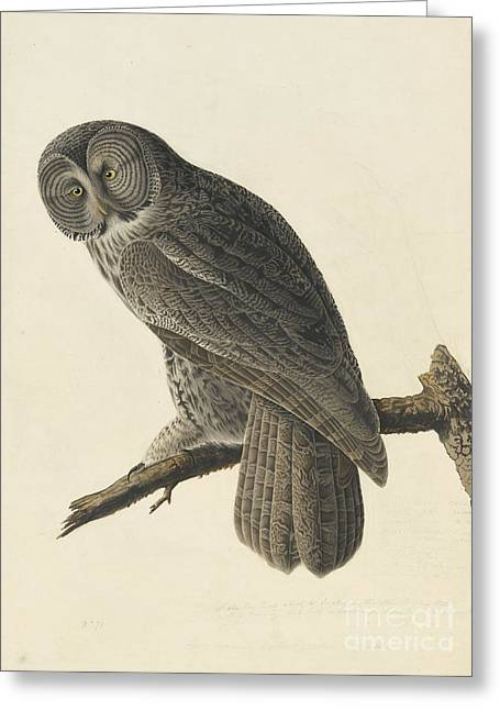 Great Gray Owl Greeting Card by Celestial Images