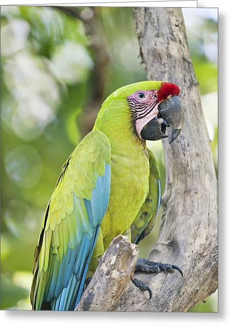 Neotropics Greeting Cards - Great green macaw Greeting Card by Science Photo Library