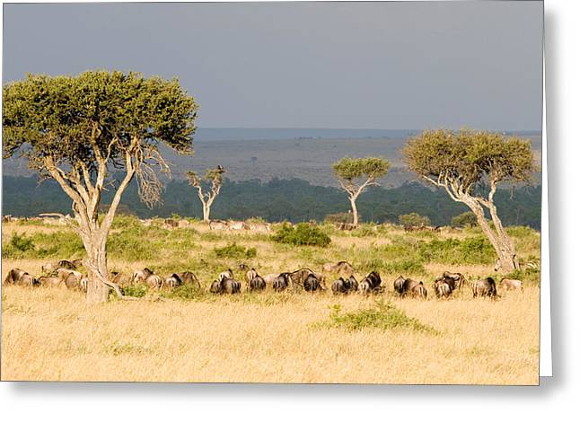National Reserve Greeting Cards - Great Migration Of Wildebeests, Masai Greeting Card by Panoramic Images
