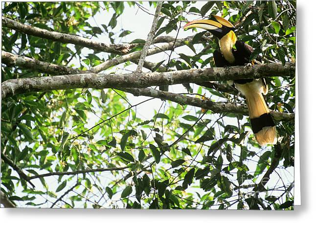 Great Pied Hornbill Greeting Card by Art Wolfe